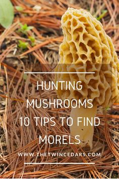 Morel Mushroom Hunting: 10 Tips you may not know that'll get you finding those delicious fungi! Edible Wild Mushrooms, Garden Mushrooms, Growing Mushrooms, Stuffed Mushrooms, Morel Mushroom Recipes, Mushroom Fungi, Quail Hunting, Coyote Hunting, Pheasant Hunting