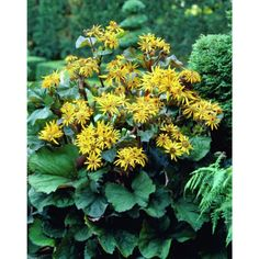 Breinøkkeltunge,80-100 cm, planteavstand 30-50 cm, halvskyggge, blomstrer juli-sept.