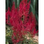 Astilbe is another of my favorite accompaniments to Hostas.  I favor the deep reds (like this August Light variety) and pinks