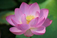 Google Image Result for http://pinkinksb.com/images/bright_pink_lotus_flower_219102626_std_7ht0.jpg