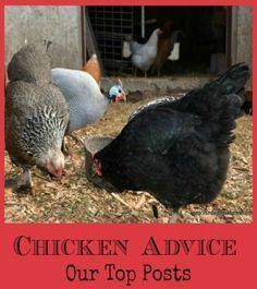 Chicken Advice: Our top posts.
