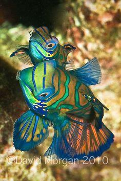 Mating Mandarin Fish