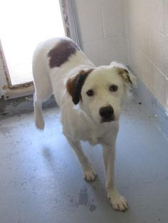 8/26/16 NILES - 137178 - Looking for owner - URGENT - PORTAGE COUNTY DOG WARDEN SHELTER in Ravenna, OH - 1 year old Male Border Collie/Lab Retriever Mix
