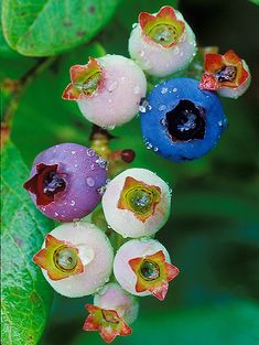 Highbush Blueberry (Vaccinium corymbosum) with fruits at different stages of maturation.