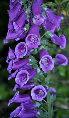 Blue Foxglove Flower | Recent Photos The Commons Getty Collection Galleries World Map App ...