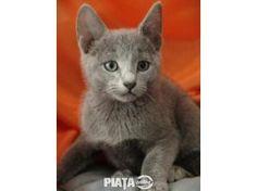 Animale de companie, Vanzari, cumparari, Vand pisici albastru de rusia, imaginea 1 din 3