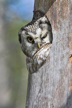 An Owl Wink: Hey there, Miss Owl.  You're kinda cute....  Will you be my girlfriend?????