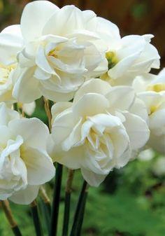 flowersgardenlove:  Double daffodils! Beautiful