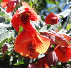 Abutilon 'Dwarf Red' (Flowering Maple) - BBY 2010 - Sara's Garden and Ranch