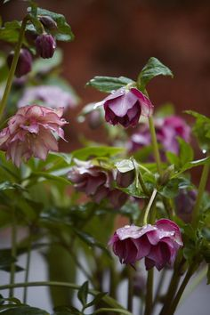 Hellebores in a beautiful pot from Willow Pottery outside the front door at Allt-y-bela. Photo: Britt Willoughby Dyer