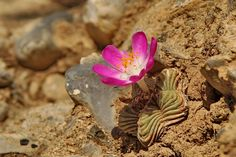 Aztekium valdezii - Google'da Ara