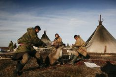*Reindeer meat is the most important part of the Nenets' diet. It is eaten raw, frozen or boiled, together with the blood of a freshly slaughtered reindeer, which is rich in vitamins.  Every Nenets has a sacred reindeer, which must not be harnessed or slaughtered until it is no longer able to walk.  Picture © Steve Morgan