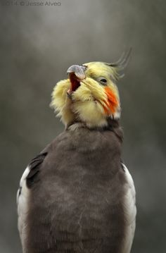 Ha ha ha! :-D Cockatiel ~ Nymphensittich ~ Nymphicus hollandicus 2014 © Jesse Alveo