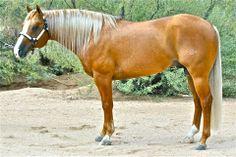 Palomino Quarter Horse Staillion
