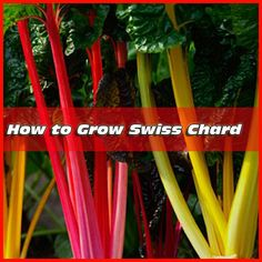 How to Grow Swiss Chard | Mike the Gardener | #prepbloggers #growyourown #chard