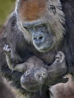 Gorilla mother Imani holds her baby daughter Aisha at the San Diego Zoo Safari… Primates, Mammals, Cute Baby Animals, Animals And Pets, Wild Animals, Beautiful Creatures, Animals Beautiful, Amor Animal, Mountain Gorilla