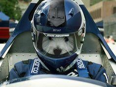 Westie Race Car Driver!