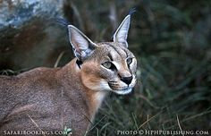 Caracal @ Augrabies Falls National Park in South Africa. For a #Augrabies travel guide visit www.safaribookings.com/augrabies. With best time to visit, maps, reviews photos and more!