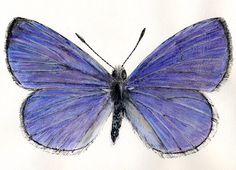 Watercolor of a spring azure