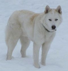 """""""White Fang is an Arctic Wolf / Siberian Husky hybrid. He is the sweetest guy…"""