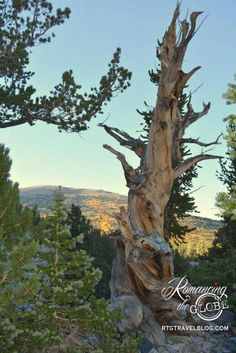 Bristlecone pine, Great Basin National Park, Nevada