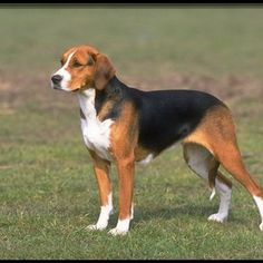American Fox Hound dog photo | the american foxhound is the oldest known american dog breed that ...