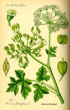 Der aromatische Wiesen-Bärenklau wird gern in der Küche verwendet, kann aber auch für die Gesundheit z.B. bei Erkältungen und hohem Blutdruck genutzt werden