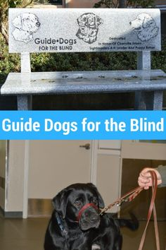 Guide Dogs for the Blind: Check out the cool stats about these amazing working dogs! They have a campus in Oregon!
