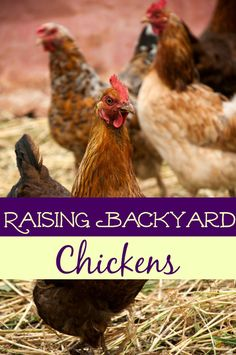 Do you have (or want) backyard chickens? If so, be sure you're taking care of them properly! These 5 tips to raising backyard chickens will help you keep your flock healthy and your fridge full of fresh meat & eggs!