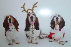 BHRSC Basset hound rescue