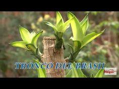 Como cuidar el tronco o palo del brasil - Hogar Tv  por Juan Gonzalo Angel - YouTube