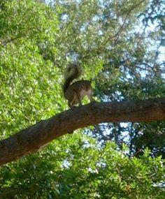 Squirrel in Clapp Park, Lubbock, TX Lubbock Tx, Get Outdoors, Bald Eagle, Squirrel, Bear, Animals, Animales, Animaux, Squirrels