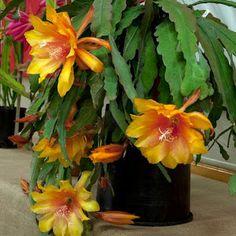A beleza de sua flor geralmente é vista somente durante a noite e raramente permanece aberta até o dia seguinte. A longa espera pelo se...