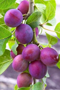 The Methley plum tree is a favorite pollinator. This plum tree has excellent quality and is great to plant for fresh eating or jelly making. Fruit Plants, Fruit Garden, Fruit Trees, Trees To Plant, Fruit And Veg, Fruits And Vegetables, Fresh Fruit, Plum Fruit, Exotic Fruit