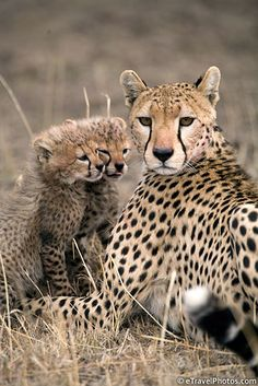 Cheetah and two cubs - BelAfrique your personal travel planner - www.BelAfrique.com