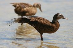 An endangered Laysan Duck Stretches it's wingat Midway Atoll. By Peter Leary