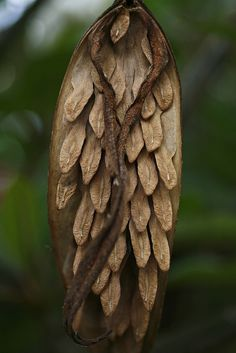 from a Plumeria Tree.  Seeds which you can plant and grow into beautiful trees!
