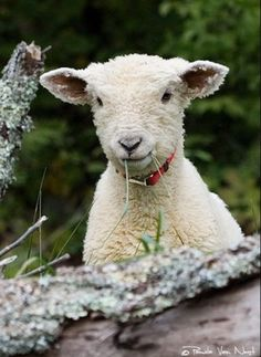 Mary's little lamb...wearing a collar!