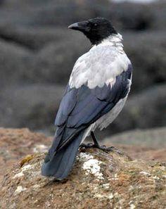 crow photo: Crow Crow.jpg