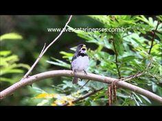 ▶ Coleirinho, Sporophila caerulescens,MVI_4386 MVI_4888 - YouTube