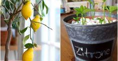 Zitronenbaum aus Zitronenkernen selber ziehen Plant lemon tree: You can read how to make a lemon tre