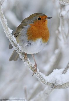 the north wind doth blow and we shall have snow and what will poor robin do then poor thing...