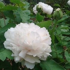 Chinesische Weiß Pfingstrose Sapphire Samen für ca. 30 Pflanzen Garten Blumen