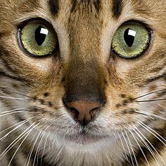 Bengal Cat - like my naughty Bengal.. :)
