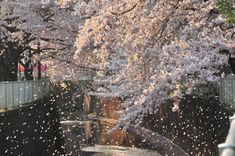 桜吹雪は風が吹かねば見られない