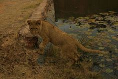A cub at Horseback Africa taking a moment beside the pond Lion Cub, Kruger National Park, Lonely Planet, Big Cats, Cubs, Lions, Travel Guide, South Africa, Wildlife