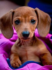 Oh my goodness - little doxies are so sweet!! I grew up with doxies.