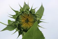 About to bloom sunflower.