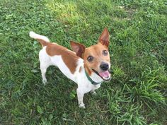 Roscoe is an adoptable Jack Russell Terrier (Parson Russell Terrier) searching for a forever family near Godfrey, IL. Use Petfinder to find adoptable pets in your area.