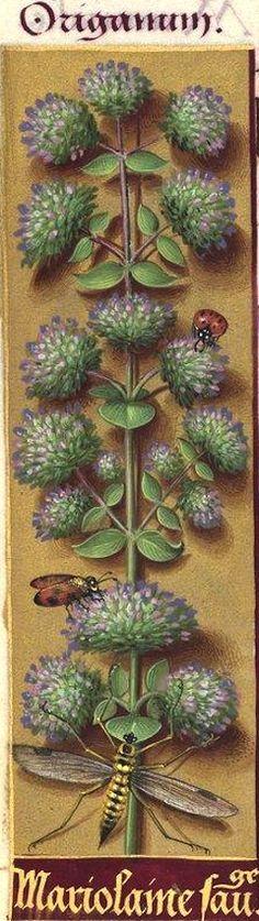 Marjolaine sauvage - Origanum (Origanum vulgare L. = origan, marjolaine bâtarde) -- Grandes Heures d'Anne de Bretagne, BNF, Ms Latin 9474, 1503-1508, f°100v